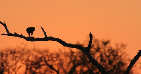 Eagle sunrise, orange sun during morning, bird in Africa. African Fish-eagle, Haliaeetus vocifer, brown bird with white head. Eagle sitting on the top of the tree, wildlife in Mana Pools NP, Zimbabwe.