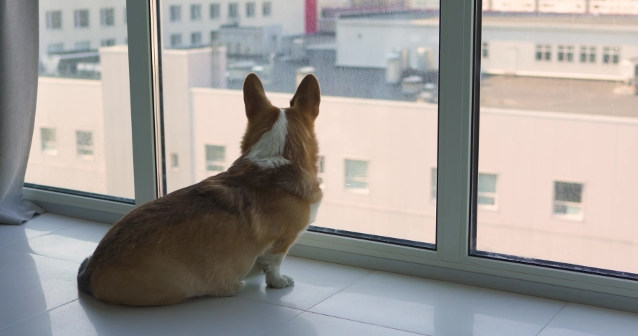 Cute Pembroke Corgi dog sitting at home near the window and looking at the street. Watching people. The dog is waiting for the owner.  | Shutterstock HD Video #1040358434