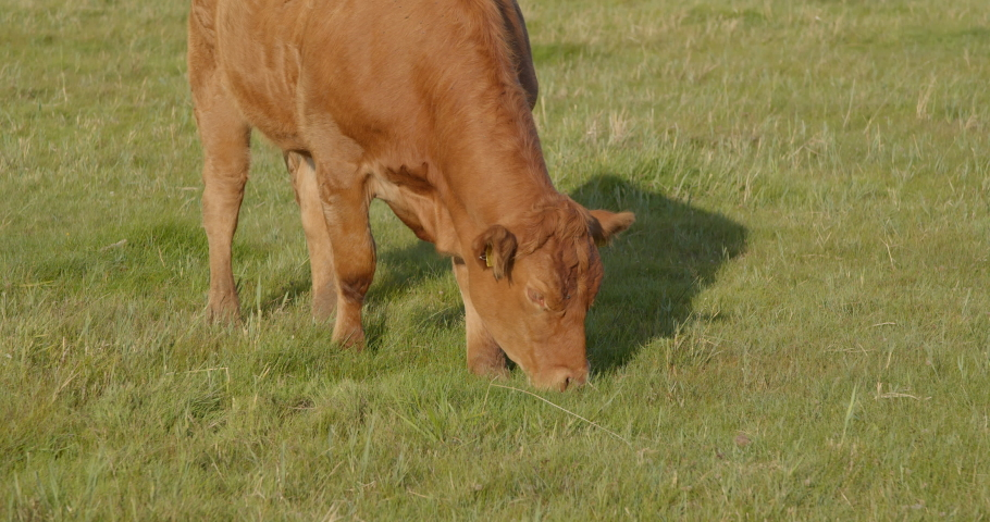 Brown cow eating fresh grass on field slow motion   Shutterstock HD Video #1040652314