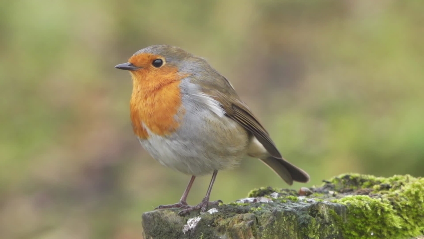 Robin red breast bird perched on a wooden fence hand held close up slow motion stock footage.  | Shutterstock HD Video #1040683574