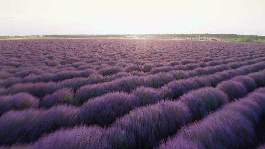 Aerial view from drone with high speed up bright purple field with blooming lavender flowers against blue sky at summer sunset. Field with lavender rows. Aromatherapy. Relax. Lens flare.  | Shutterstock HD Video #1040687894