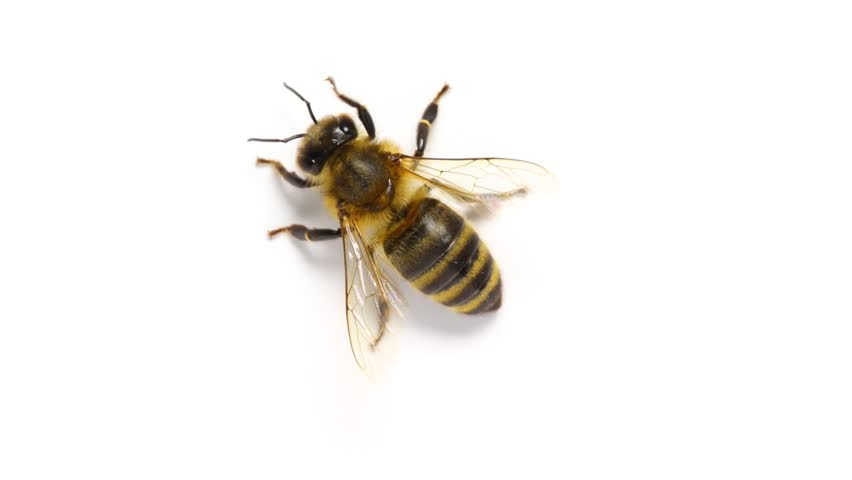 Hardworking Honey Bee Preening Itself On White Background