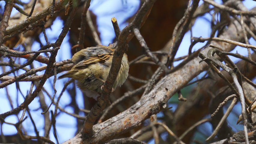 Bird - young sparrow ( Passer domesticus ) sits on a pine branch and cleans its feathers.   Shutterstock HD Video #1041459694