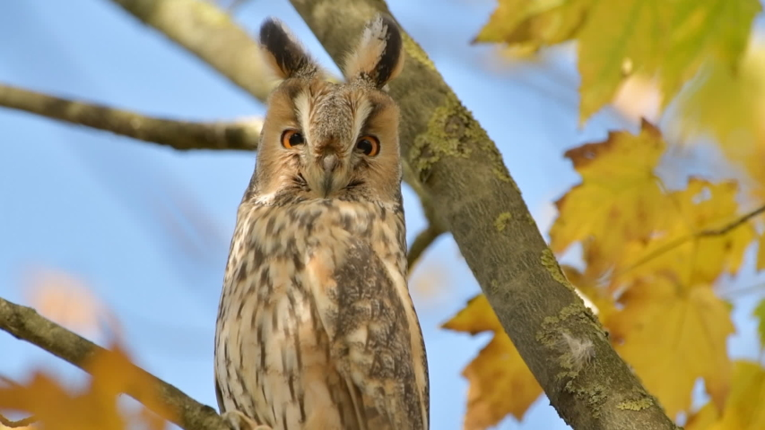 Long-eared owl (Asio otus) sitting high up in a tree with yellow colored leafs during a fall day. Slow motion clip at half speed   Shutterstock HD Video #1041461554