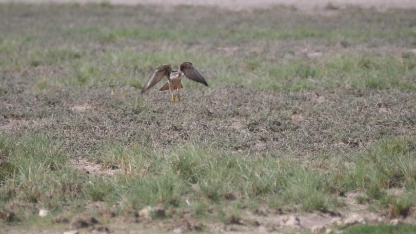 Common buzzard flying away at Kgalagadi Transfrontier Park, Botswana #1041620554