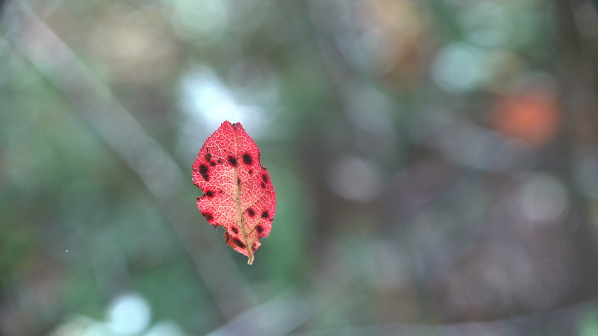 Red sheet with black dots spins on web from light autumn wind. Macro view plant | Shutterstock HD Video #1041998854