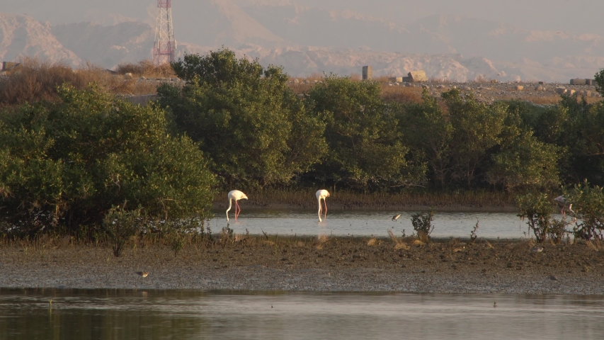 Group of beautiful flamingo birds with reflections at Ras al Khaimah mangrove. uae wildlife and nature  | Shutterstock HD Video #1042044214