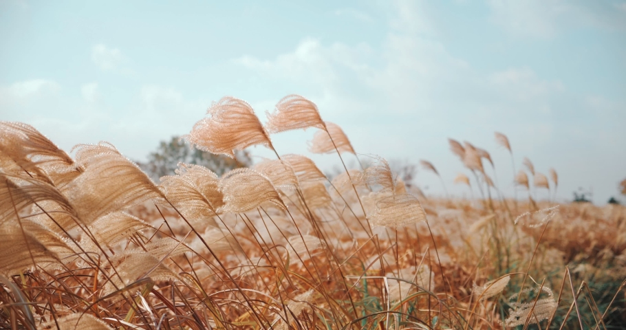 Silver grass flower blowing in the wind, silver grass flower sway in the wind. | Shutterstock HD Video #1042244224