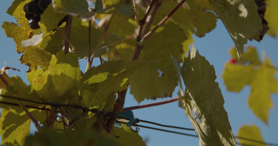 Windy agriculture grave vine leaves blowing in the wind. Bunch of swinging grapes in sunny background. | Shutterstock HD Video #1042246384