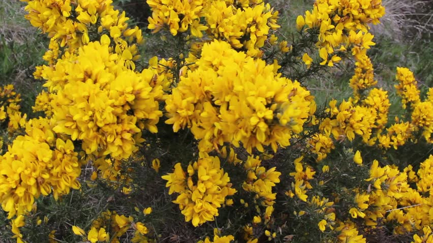 Scottish plant, Gorse in bloom, close up Footage