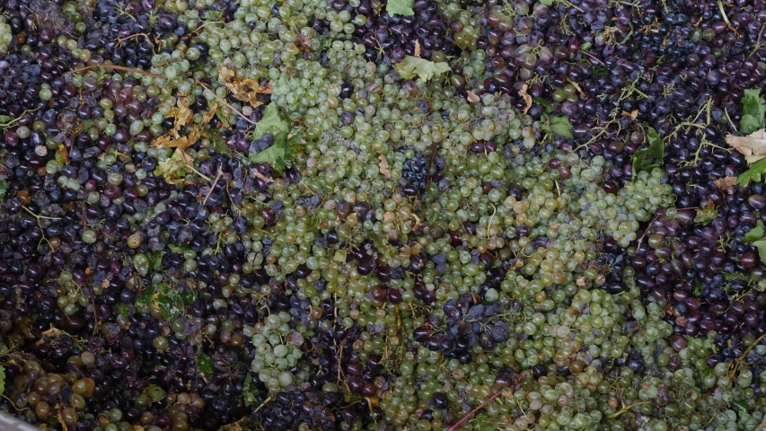 Top-down view of thousands of grapes slowlying through machinery in a factory during production. | Shutterstock HD Video #1042684744