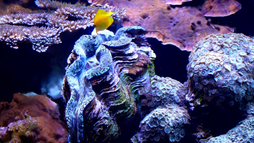 View of a Yellow Tang fish and a Giant  Clam together surround by corals and other fish. | Shutterstock HD Video #1042805434