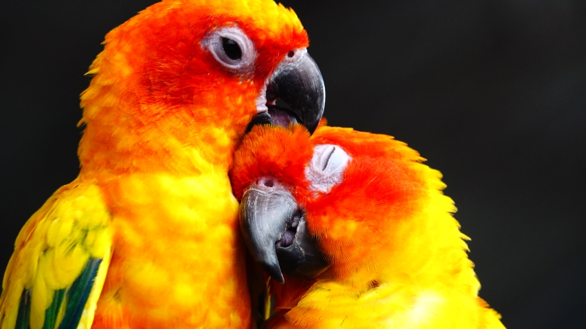 4K The sun parakeet beautiful colours of yellow orange and red (Aratinga solstitialis) also known as the sun conure bird in thailand.   Shutterstock HD Video #1043765734