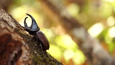 Dynastinae Or Rhinoceros Beetles Or Fighting Beetles On The Tree With Nature Blurred Background Rhinoceros Beetle Hercules Beetle