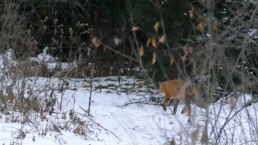Fox walking away from camera on trail with light snow during Canadian winter - HD 24fps | Shutterstock HD Video #1044457594