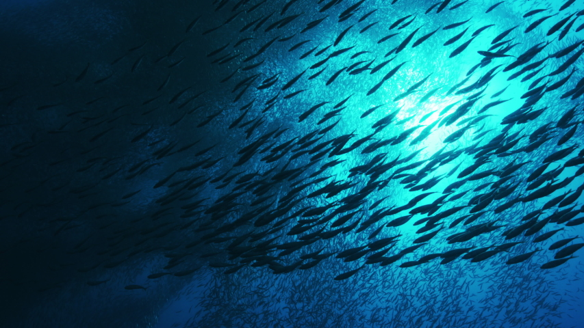 Silhouette view of numerous fish. Shoal of Blacktip sardinella ripples and sways under pacific surface.  | Shutterstock HD Video #1044758284