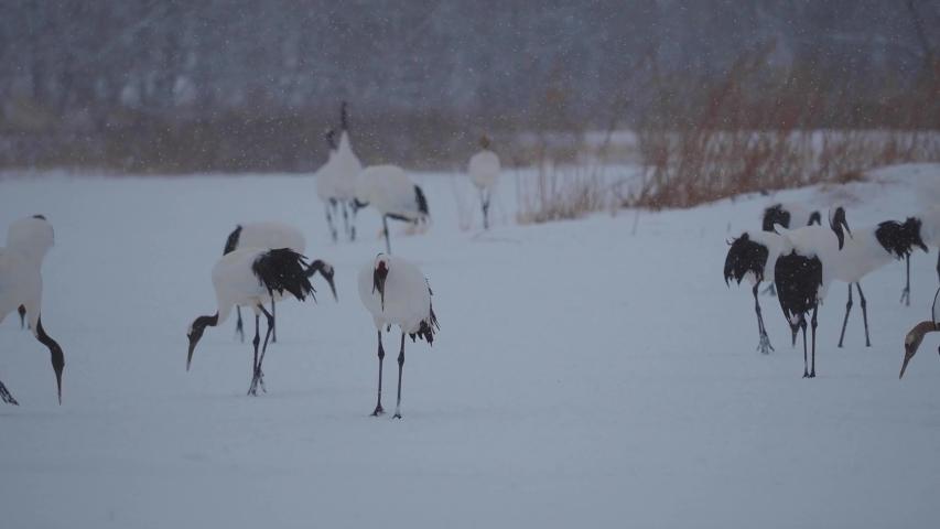 Flock of cranes in Hokkaido | Shutterstock HD Video #1044826294