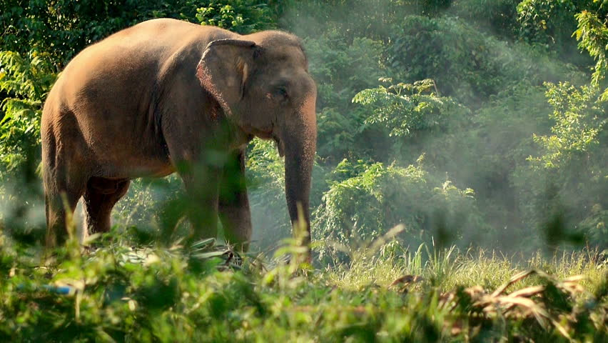 Elephant in the tropical forest, Thailand.