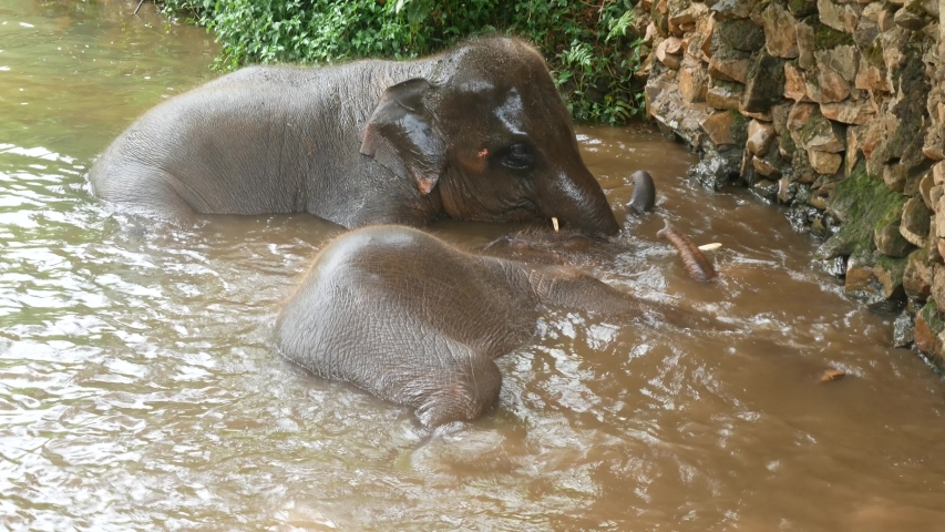 Happy Asian elephants bathing themselves in some water at an ethical elephant sanctuary in northern Thailand. | Shutterstock HD Video #1045931674