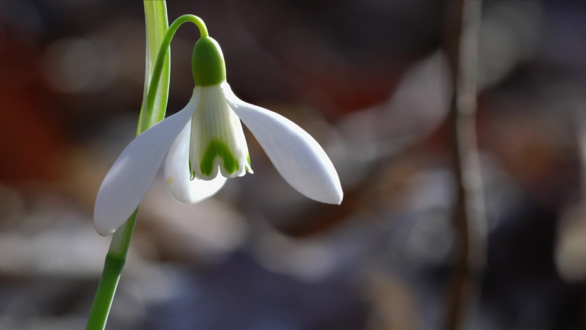 Snowdrop herald of spring in the natural ambience (Galanthus nivalis) | Shutterstock HD Video #1046734684