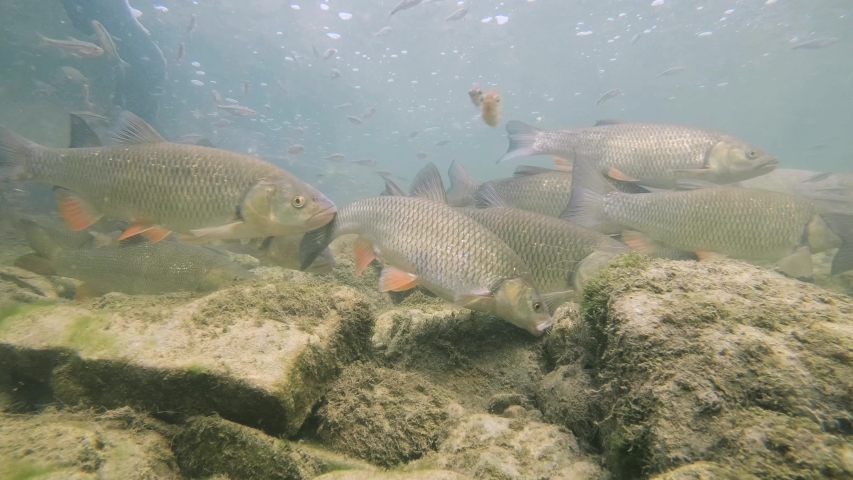 Underwater footage of nice river habitat. Swimming close up freshwater fishes Chub, Leuciscus cephalus, Riffle minnow, Alburnoides bipunctatus. Nice freshwater fishes in the nature habitat.  | Shutterstock HD Video #1046768494