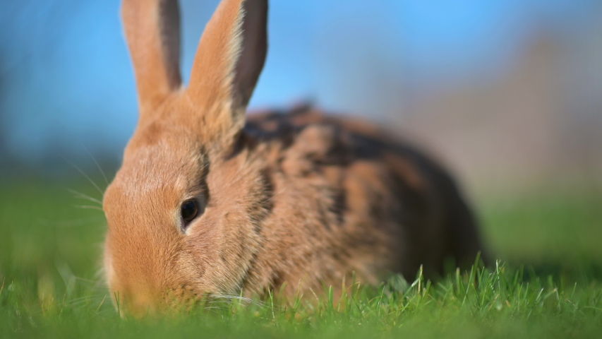 Close-up of a beautiful rabbit sitting on the lawn. rabbit on green grass | Shutterstock HD Video #1046772964