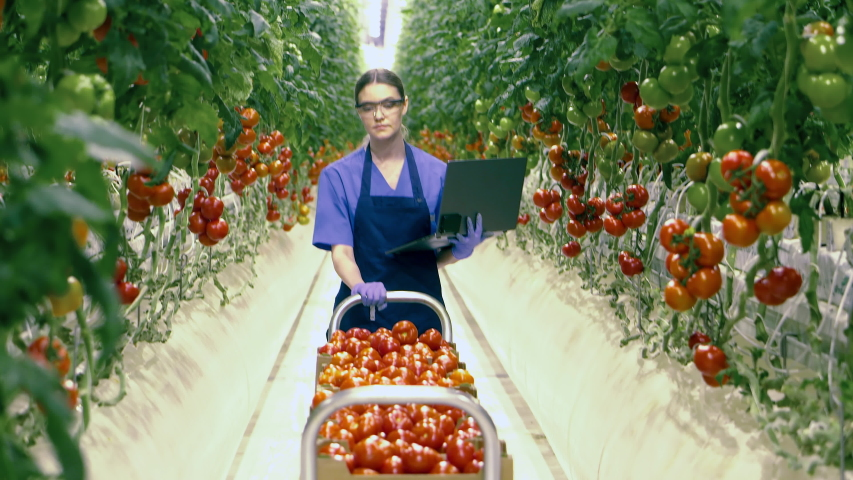 Female worker with a laptop is transporting tomatoes in the greenery | Shutterstock HD Video #1047241744