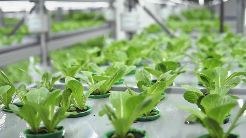 Modern production or cultivation of vegetable plants in vertical farm, healthy and delicious herbs, grocery rich in vitamins and minerals, green spinach and lettuce | Shutterstock HD Video #1047262234