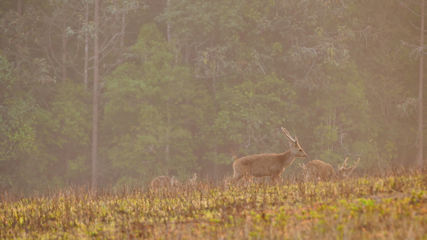 Herd hog deer (Axis porcinus) walking eating grass in forest in the morning time. Animal Wildlife, Nature background Asia Thailand. Slow motion   Shutterstock HD Video #1048524004