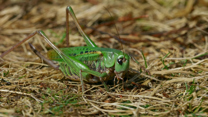 Wart-biter (Decticus verrucivorus) grasshopper green cricket | Shutterstock HD Video #1048869304