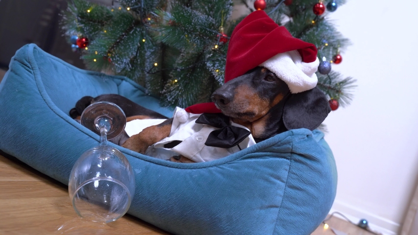 Cute dog dachshund in santa hat after party in the office lies in bed with hangover against the background of the christmas tree | Shutterstock HD Video #1049464924