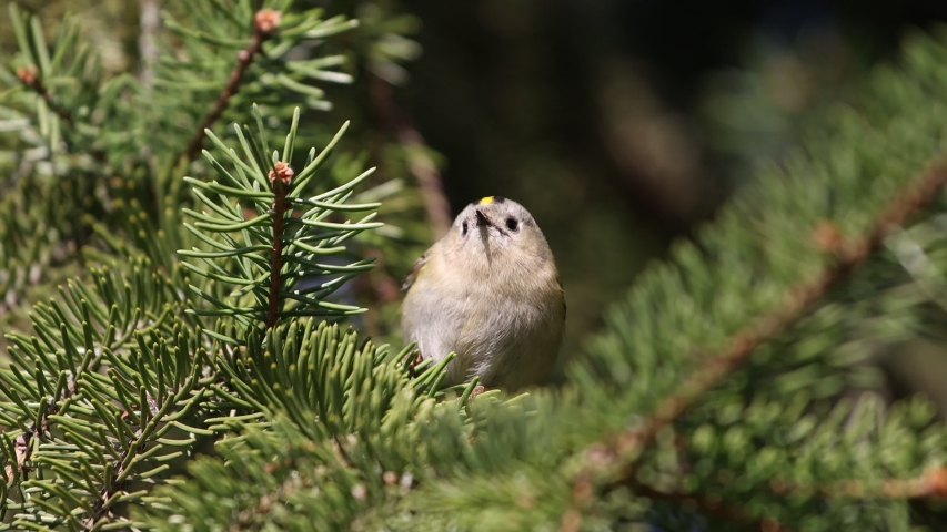 Goldcrest sitting among green branches of spruce | Shutterstock HD Video #1049874844