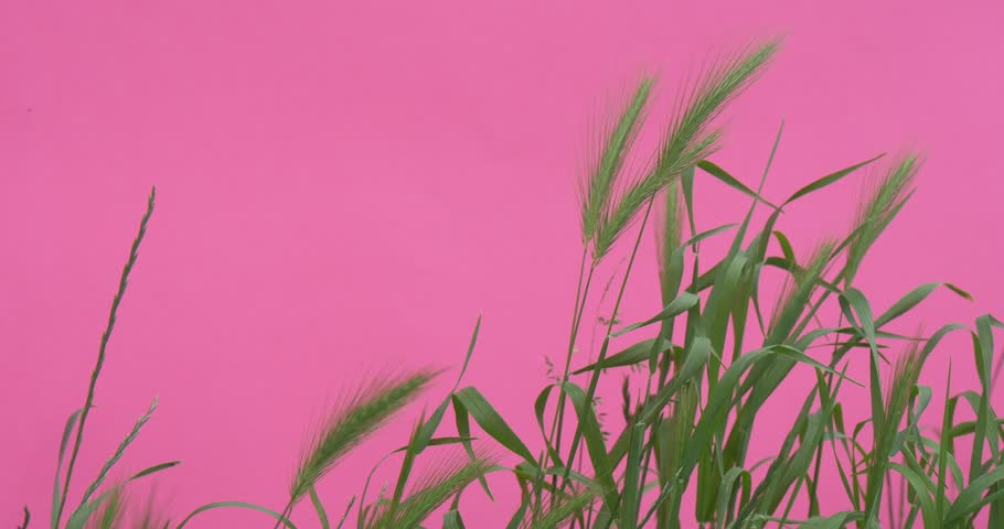 OPOLE/POLAND - JUN 08 2015: Wheat Green Leaves And StalksChroma Key Wavering Flowers, Peonies And Milfoils,Green Leaves And Stalks,Wavering on the Wind, bright green background, Chromakey Chroma | Shutterstock HD Video #10510175