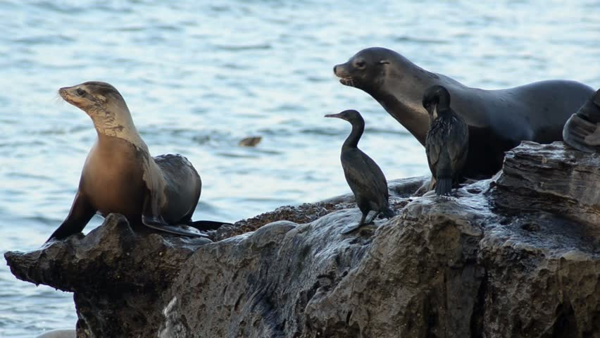sea lions dive into water from rocks