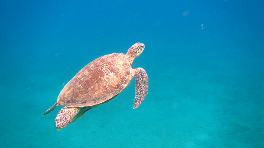 Egypt. Red sea. Flight of the green turtle in the Red Sea Swimming turtle. Freediving video. #10558844
