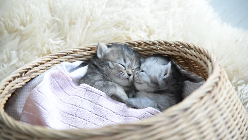 Cute tabby kittens sleeping and hugging in a basket | Shutterstock HD Video #10610396