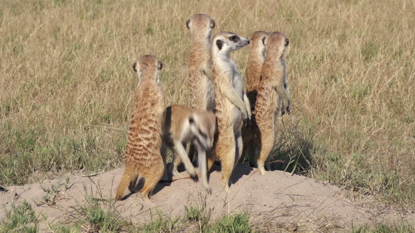 Meerkats on sentry duty while other meerkats clear entrance to burrow, Botswana | Shutterstock HD Video #10772564