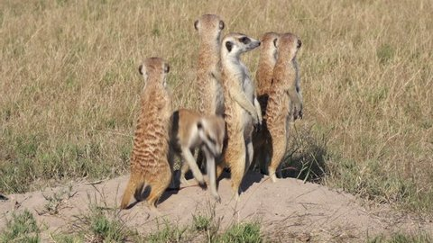 Meerkats on sentry duty while other meerkats clear entrance to burrow, Botswana