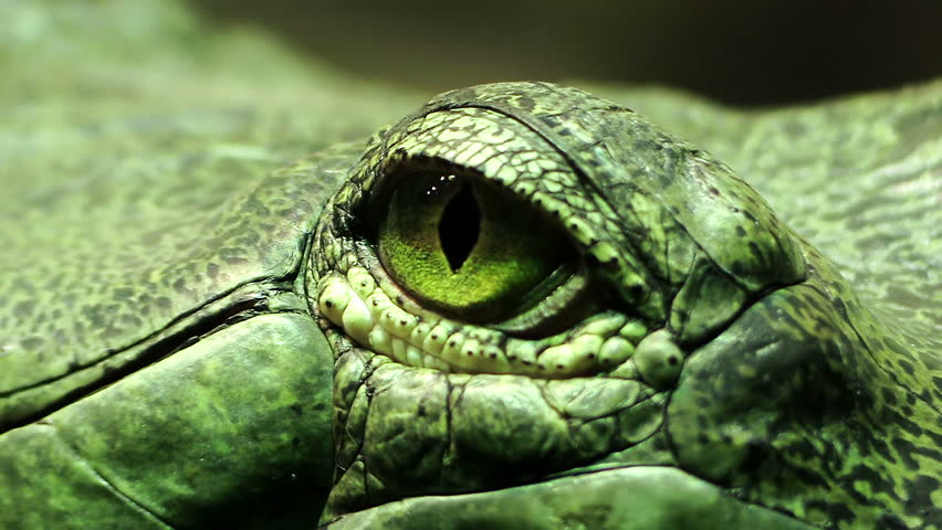 Eye of a reptile: green reptile, lizard, lizard, iguana, turtle, snake