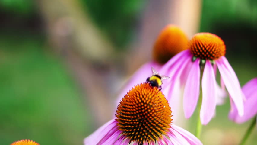 Bumblebee sucking the bud of the cone flower (Echinacea Purpurea) then fly to another echinacea. The bee will be doing the process of pollination to help on the budding of the flower.