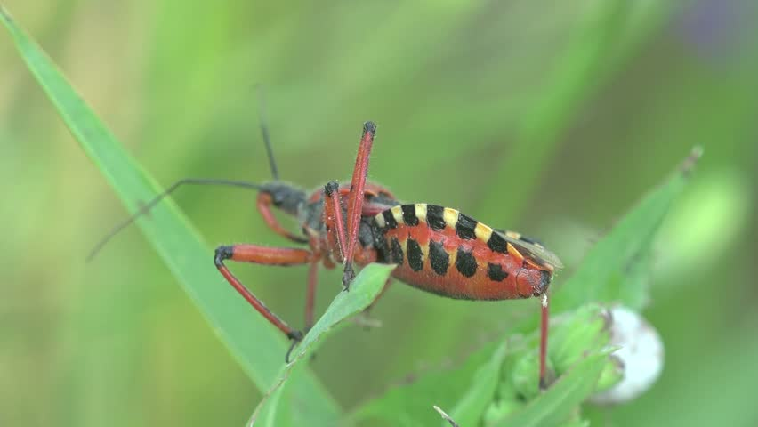 Red yellow Beetle Platymeris  sitting on green leaf, macro bug insect
