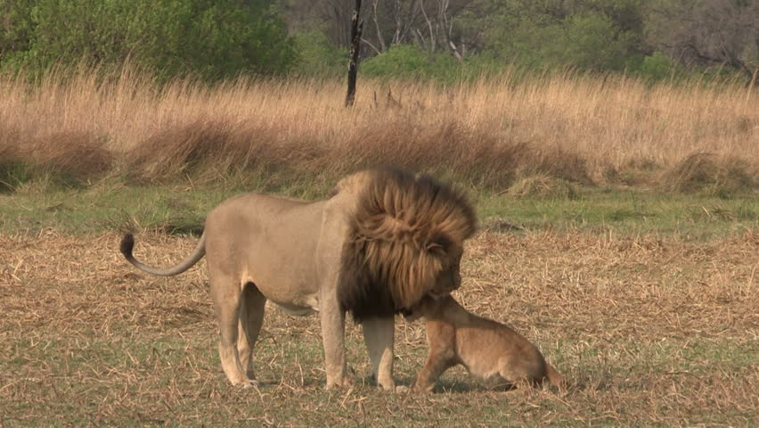 Male lion standing and interacting with three cubs