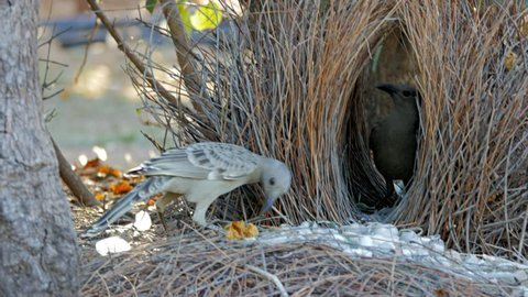 a great bowerbird displays objects to another bird at its bower of sticks