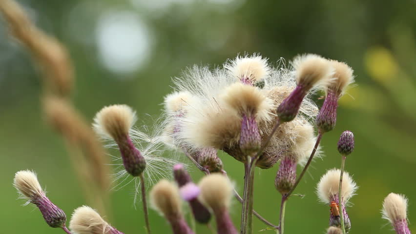 Thistle blossom white thistle flower stock footage video 100 hd0005thistle with fluffy white hat pink flowers with white fluffy hat swaying in the wind mightylinksfo