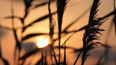 close-up of the reed in the wind against mountains at sunset