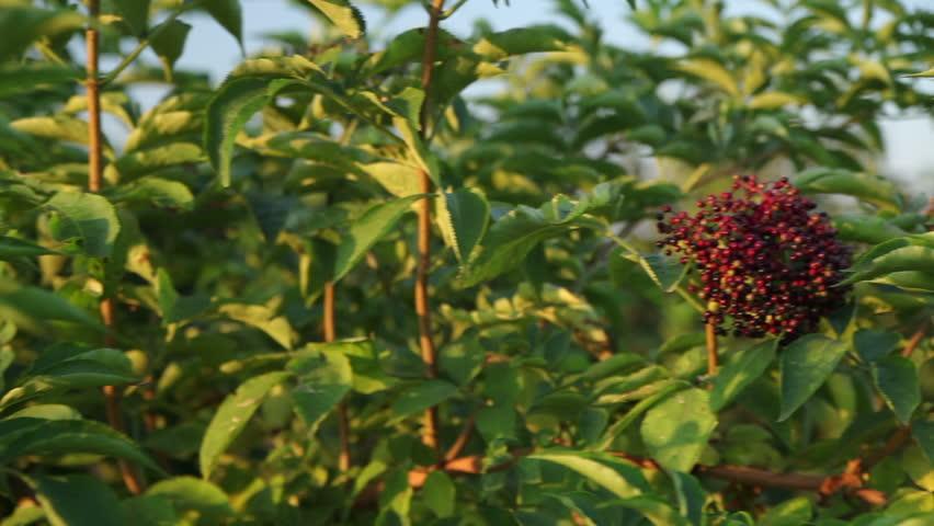 Elderberry Black Berries Horizontal Panarama