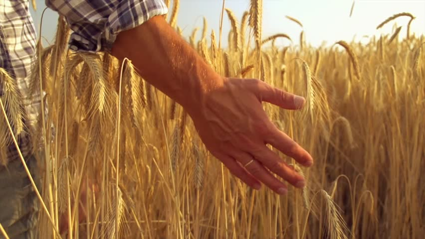 Man hand running through wheat field. Male hand touching wheat ears closeup. Farmer. Harvest concept. Harvest concept. Slow motion video footage 240 fps. Full HD 1080p