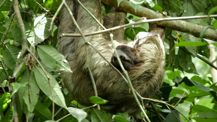 Cute baby sloth holds onto its mother while she climbs around on a tree. | Shutterstock HD Video #11093534