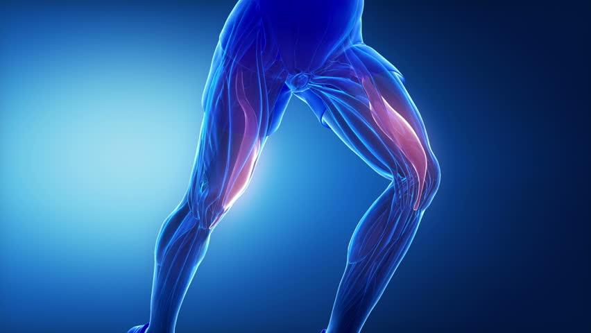 Stock video of gracilis tendon - leg muscles anatomy | 10989071 ...