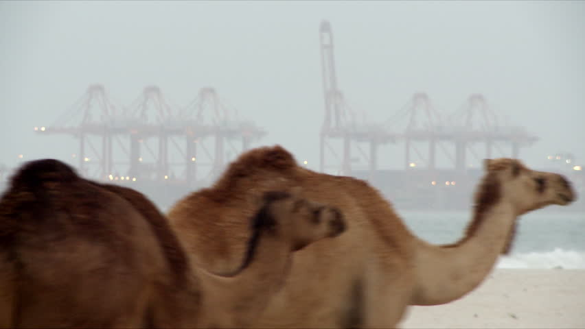 A herd of camels walking on a beach in Salalah with a large port visible in the background